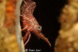 Candy shrimp sony rx100 by Yoav Lavi