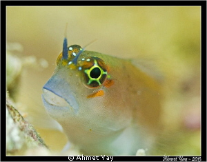 Portrait of a blenny.... Canon 600D - Canon 60 mm - 2xYS... by Ahmet Yay