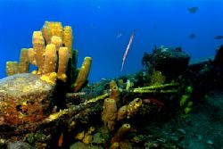 Trumpetfish feeding on a wreck off St. Lucia. Nikonos V, ... by Matthew Shanley