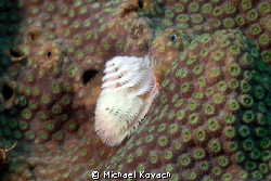Christmas Tree Worm on Coral at the Big Coral Knoll off t... by Michael Kovach