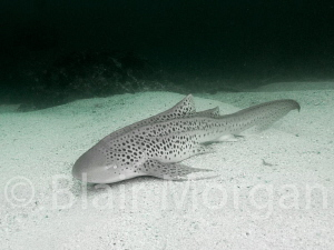 Leopard Shark - Julian Rocks, Byron Bay, NSW, Australia by Blair Morgan