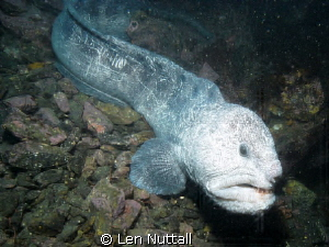 Wolf Eel..My sea andn sea DGX-1 was crapping out.. Took a... by Len Nuttall