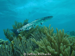 Barracuda on the reef, Bonaire by Jeffrey Richards