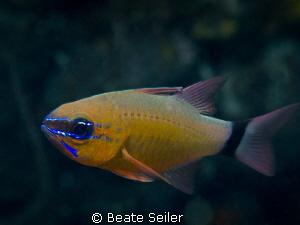 Cardinal fish by Beate Seiler