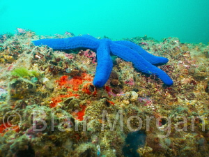Blue Star - Cook Island, NSW, Australia by Blair Morgan