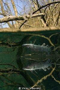 Pike in the Mirror... by Viktor Vrbovský