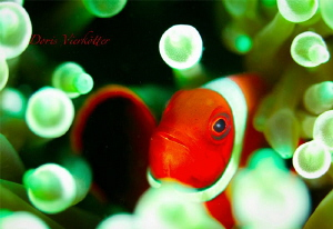 Anemonefish red by Doris Vierkötter