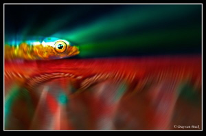 Goby on seapen by Dray Van Beeck