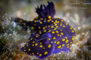 Purple Nudibranch, La Paz Mexico by Alejandro Topete