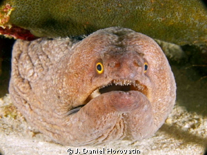 I need help identifying the type of moray eel captured in... by J. Daniel Horovatin