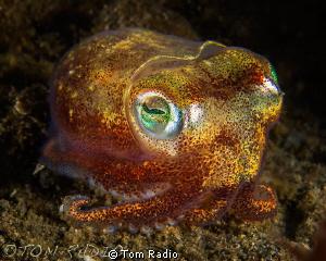 Stubby Squid Seattle, WA, U.S.A. by Tom Radio