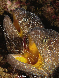 A pair of yellow-mouthed moray eels. by Valda Fraser