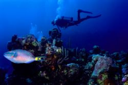 Wanna race? Stoplight Parrotfish leaves diver in the dust... by Matthew Shanley