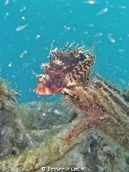 Scorpionfish posing by Benjamin Liechti