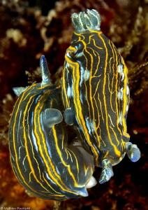 2 Hypselodoris villafranca mating by Mathieu Foulquié
