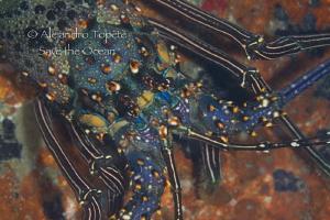 Lobster in hide, La Paz mexico by Alejandro Topete