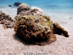 Fluffy stonefish on the sand by Laura Dinraths