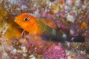 curius Litle fish, Isla Coco Costa Rica by Alejandro Topete