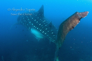 whale Shark Tail, Galapagos Ecuador by Alejandro Topete