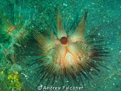 This photo of a sea urchin lit up with my flash and came ... by Andrew Falconer