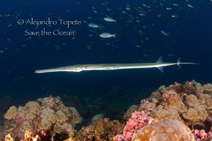 Trumpet fish in the dark by Alejandro Topete