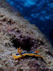 Pyjama slug nudibranch by Paul Colley