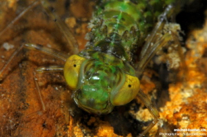 Details of the head of the Larva of a Dragonfly... :O)... by Michel Lonfat