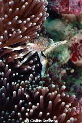 Porcelain Anemone Crab (Neopetrolisthes maculatus) Cute... by Claude Steiner