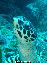 I saw this turtle, and was able to get close enough with ... by Andrew Falconer