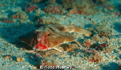 Red Lipped Batfish. Dive guide didn't want us to get clos... by Todd Moseley