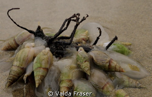 A funeral feast - whelks feeding on a dead insect.  Walki... by Valda Fraser