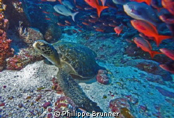 Petite tortue au aguets by Philippe Brunner
