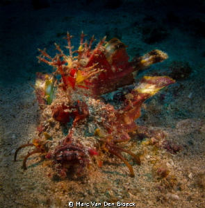 rhino scorpion fish by Marc Van Den Broeck