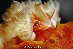 shrimp in spanish dancer by Brocken Rudi