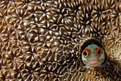 A happy blenny in its coral house. Second submission, thi... by Luiz Rocha