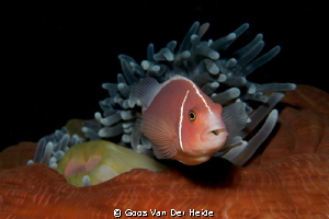 Skunk Anemonefish defending his anemone by Goos Van Der Heide