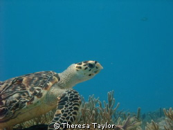 Posing turtle by Theresa Taylor