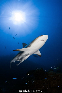Caribbean reef shark by Gleb Tolstov