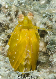 Yellow mantis shrimp by Leena Roy