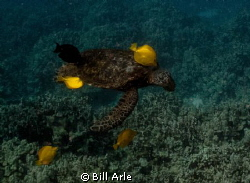 Turtle cleaning station.  Big Island, Hawaii. by Bill Arle