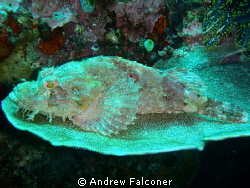 I came across this scorpion fish while diving at Bunaken ... by Andrew Falconer