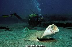 Angel Shark in Coloradas by Juan Carlos Garcia Franco