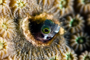 Secretary blenny by Gleb Tolstov