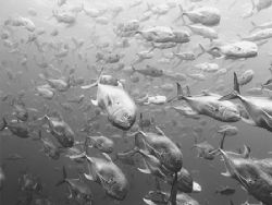Crevalle jacks at Gladeen Spit on The Belize Barrier Reef by Martin Spragg