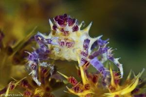 Candy crab on Alcyonaria by Raffaele Livornese