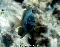 Jewel damselfish by Laura Dinraths