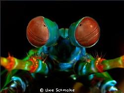 This mantis shrimp portrait I've taken in indonesian wate... by Uwe Schmolke
