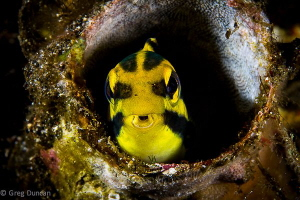 Shy Yellow Blenny hiding in tube coral by Greg Duncan