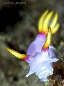Hypselodoris Bullockii by Iyad Suleyman