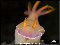 Hypselodoris bullocki